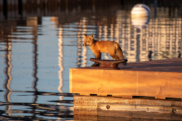Fox Kit on the Dock