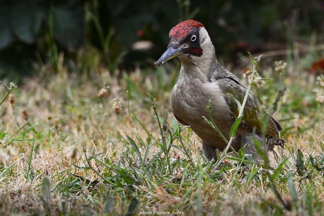 Pic vert (Picus viridis) Woodpecker
