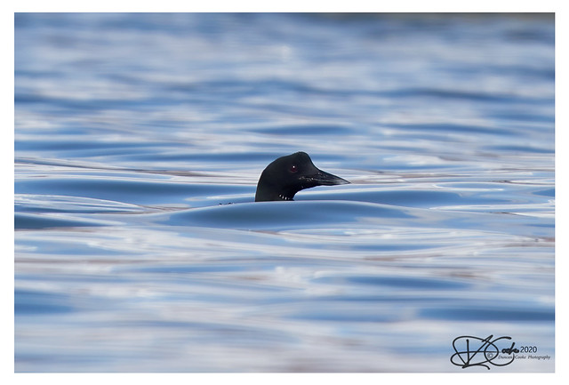 B57I1177-Great-Northern-Diver