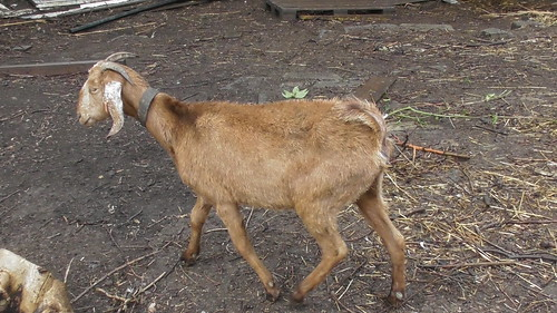 Anglo nubian goats June 20 (3)
