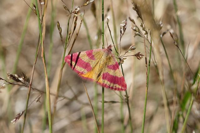 Moth (Lythria cruentaria) Mindre purpurmätare