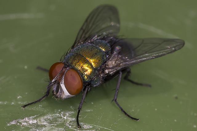 Lucilia sericata (Common Green Bottle Fly)
