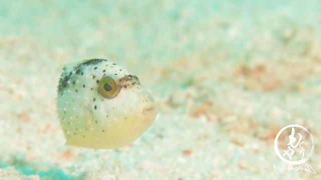 大きめの子に追い出されてました。キヘリモンガラ幼魚