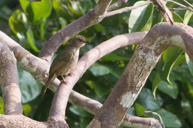 Olive-winged Bulbul