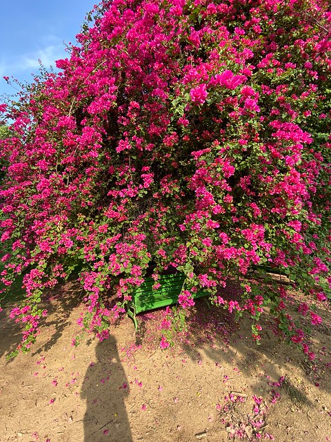 City Season - Bougainvillaea Bloom, Lodhi Garden