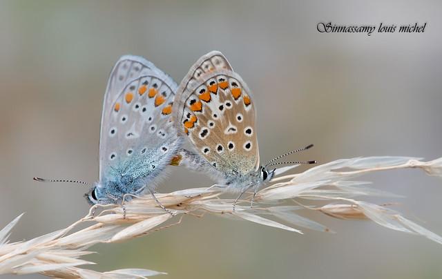 Common blue / Argus