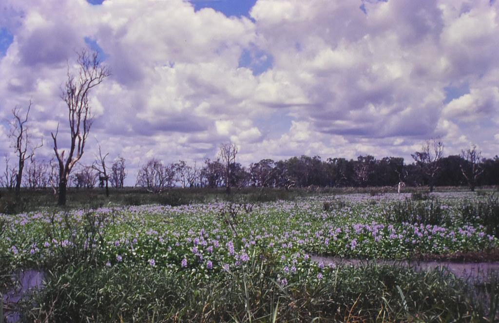 Wetland overrun with Eichhornia crassipes, near Ayr, QLD, 02/01/00