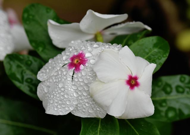 Flors i pluja .....