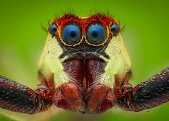 Chân dung zai đẹp - Male Epocilla calcarata jumping spider  (由  thengoctran19