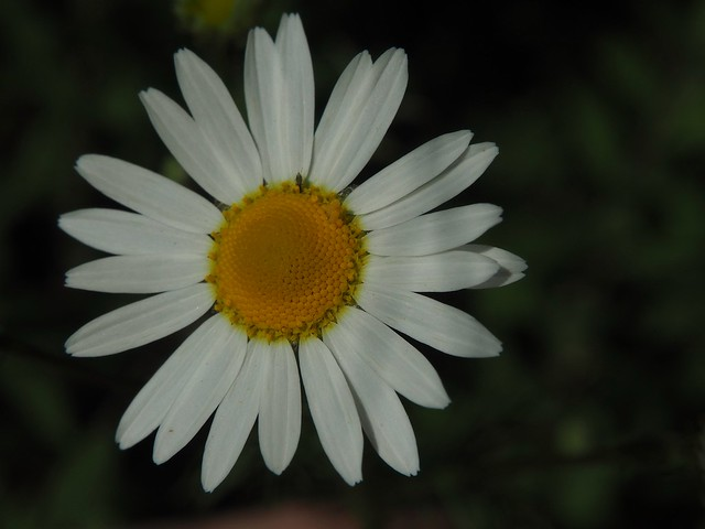Daisy, Summer flower