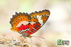 The Malay Lacewing - ผีเสื้อกะทกรกมลายู