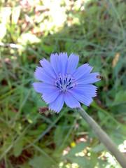 Cichorium intybus (cicoria selvatica, fiore)