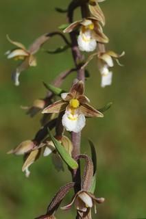 Kent's Marsh Hellborines - Epipactis palustris