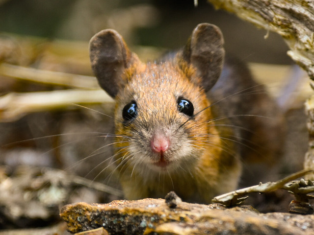 Woodmouse ground eye view, Denny Wood, New Forest, Hampshire