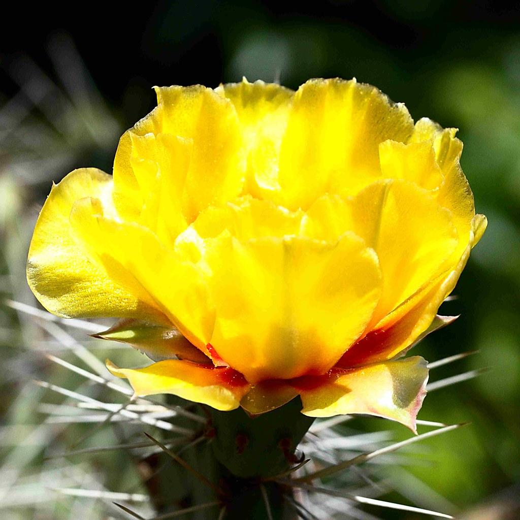 Frostharter Feigenkaktus (unbestimmt) im Topf. Blüte 2.