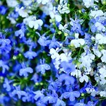 青白 / Blue White