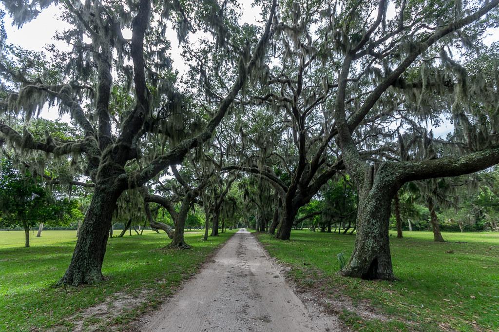 Live oaks (1)