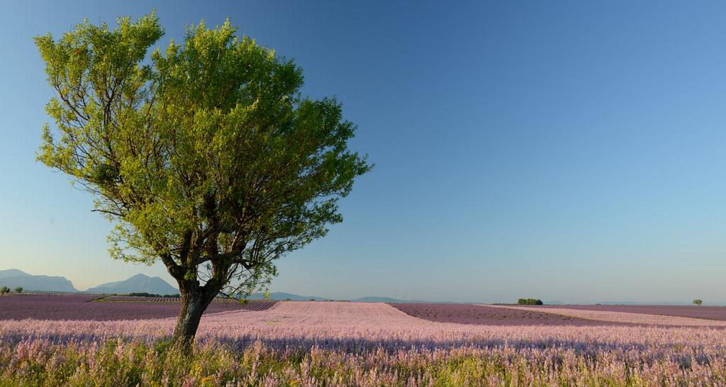 Sauge et lavande de Provence
