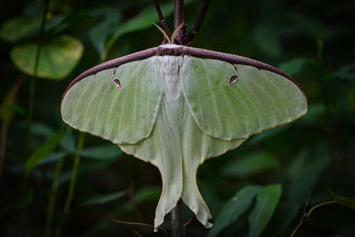 Female Luna Moth by Tim Ray