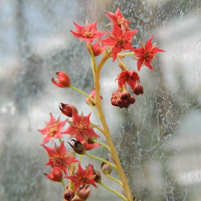 2020-06-30 Drosera adelae - BG Teplice