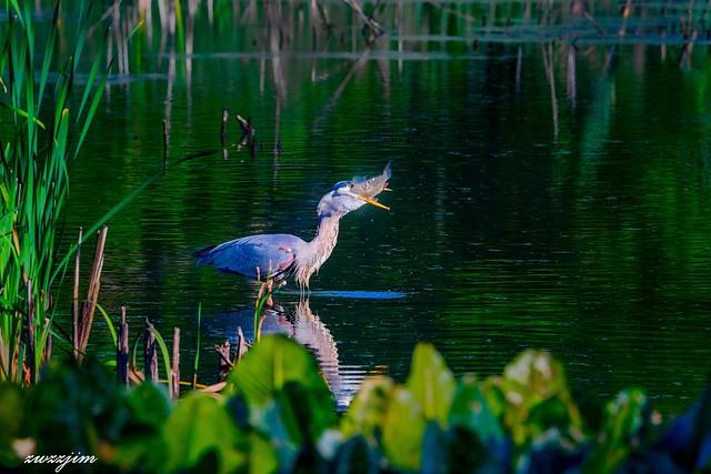 Great blue heron at John Heinz National Wildlife Refuge at Tinicum PA 01f