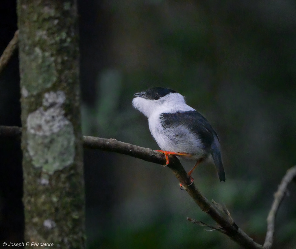White-bearded Manakin (Manacus manacus) - Trinidad