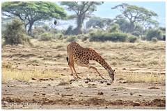 Stretching giraf