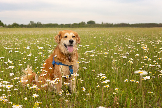 27/52 - Lacie in her field of daisies