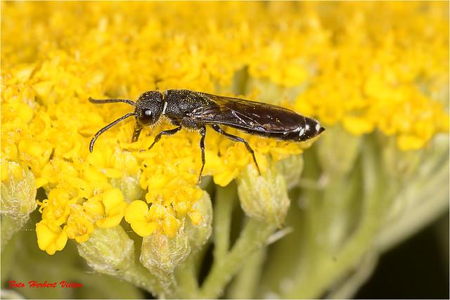 Keulenwespen (Hymenoptera: Sapygidae).....