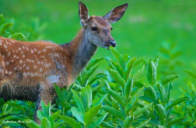 Portrait of a Young Cute Baby Red Deer - Cervus elaphus, Fiatal Gímszarvas  κόκκινo ελάφι μικρό