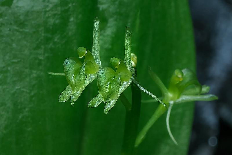 Loesel's Twayblade orchid
