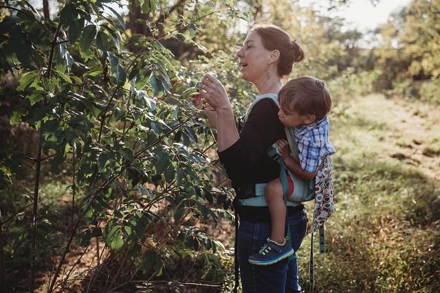 Sarah DePasquale of Fiddler's Bend Farm in Pennsylvania harvests elderberries