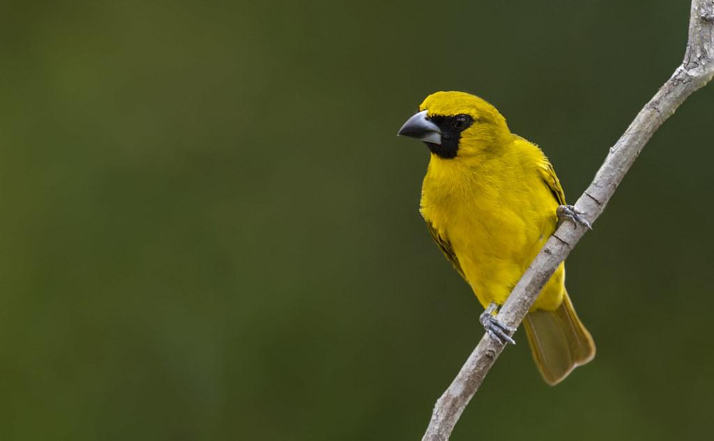 Caryothraustes canadensis - Yellow-green Grosbeak - Piquigrueso Verde - Picogordo de Antifaz 03