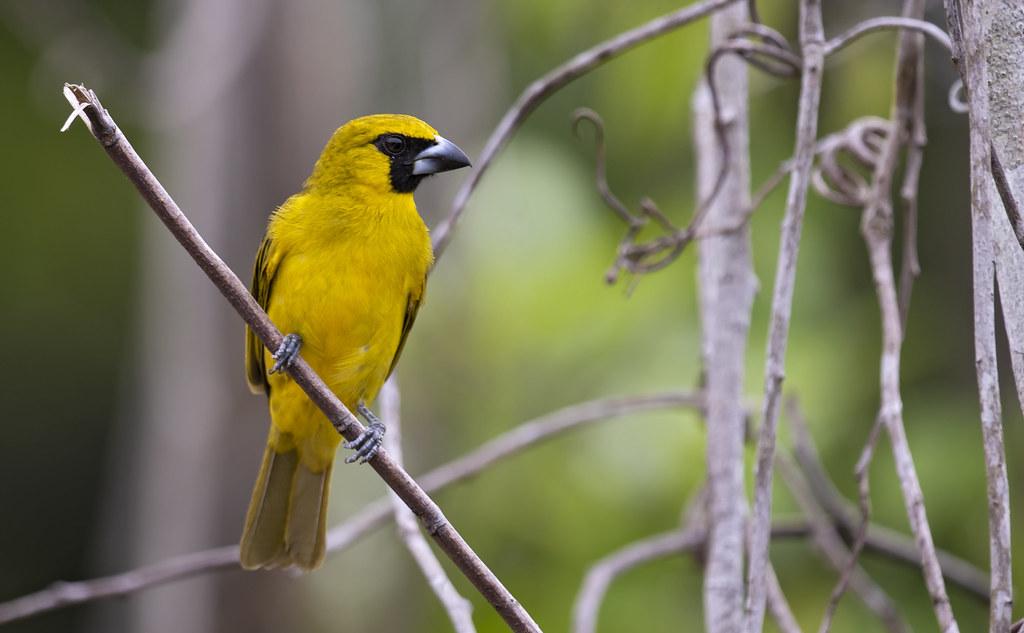 Caryothraustes canadensis - Yellow-green Grosbeak - Piquigrueso Verde - Picogordo de Antifaz 04