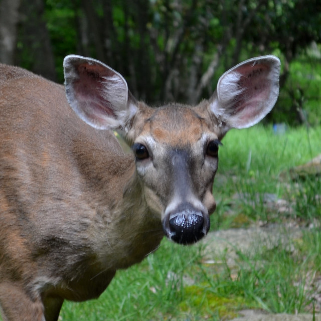 Head and Shoulder Portrait of a White Tail Doe
