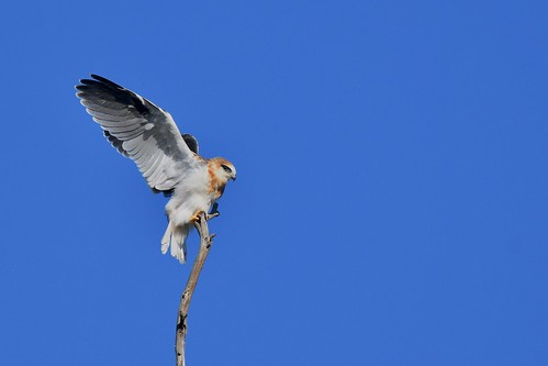 Black-shouldered Kite Juv.  ( learning balance  and to  hold on ) | by friendsintheair