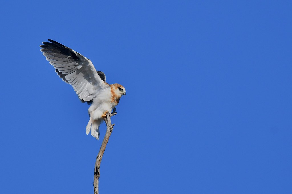 Black-shouldered Kite Juv.  ( learning balance  and to  hold on )