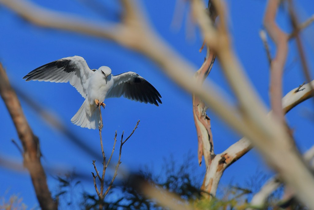 Black-shouldered Kite ( Dad is making the young work hard )