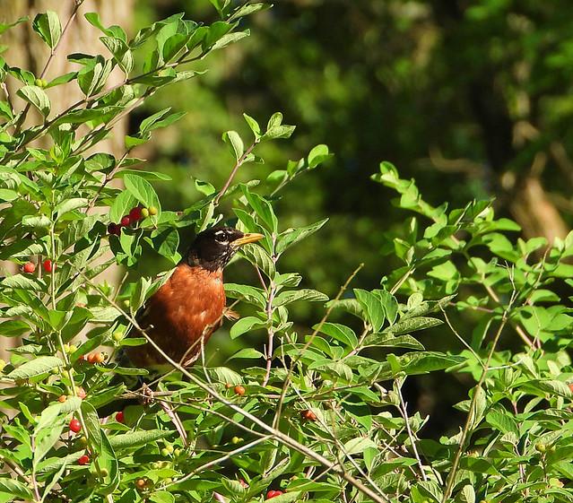 Robin In The Honeysuckle Bush-HBW!