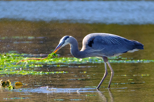 Great Blue Heron Eating a Marine Bristle Worm-June 28, 2020.