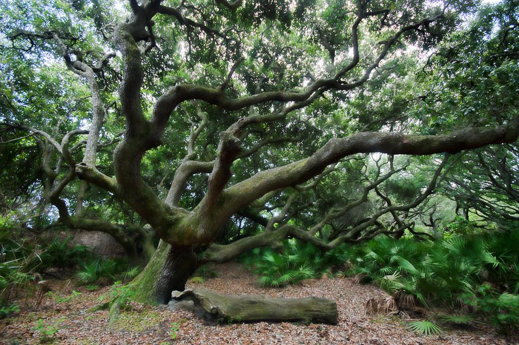 Live oaks (2)