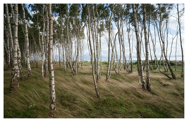 Baltic birches in waves of grass