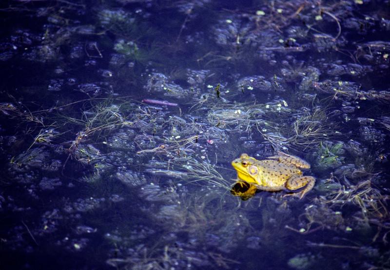 Gairloch Gardens Frog