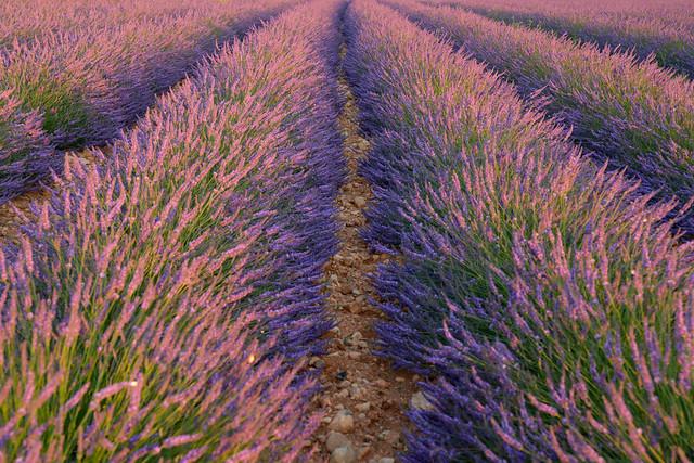 Lavandes de Provence