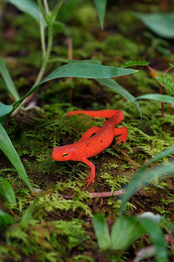 Red Eft (newt)