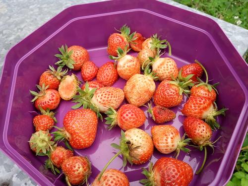 strawberries June 20