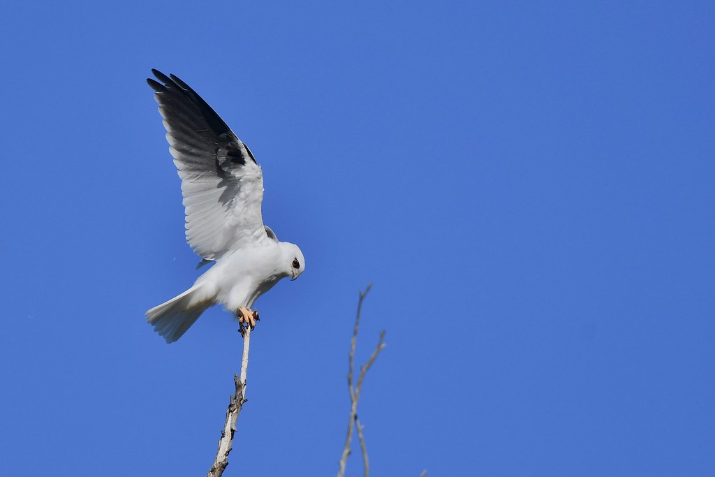 Blacl-shouldered Kite ( Dad showing the skill )