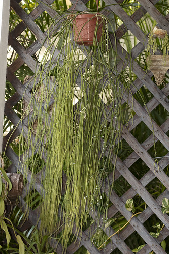 Rhipsalis baccifera, the mother plant | by Kenneth Setzer