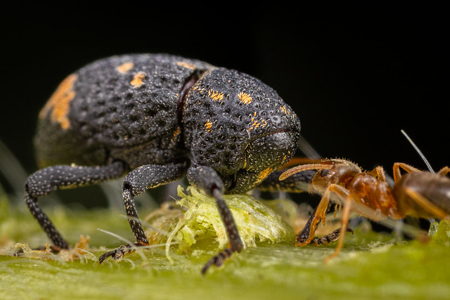The Weevil & The Ant