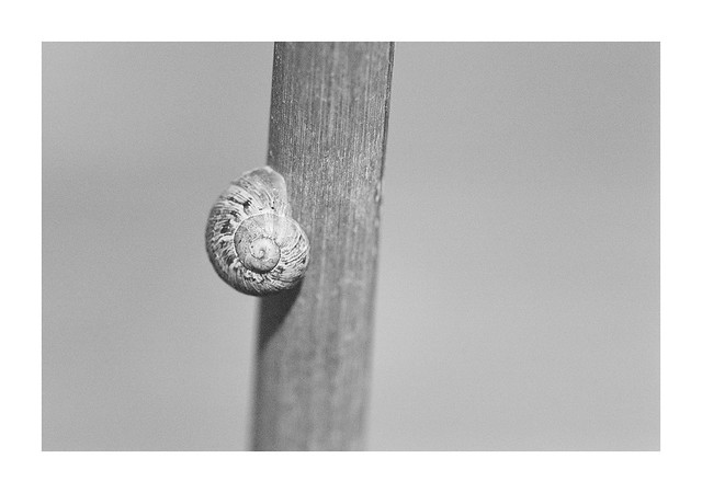 Small snail-shell on a cane